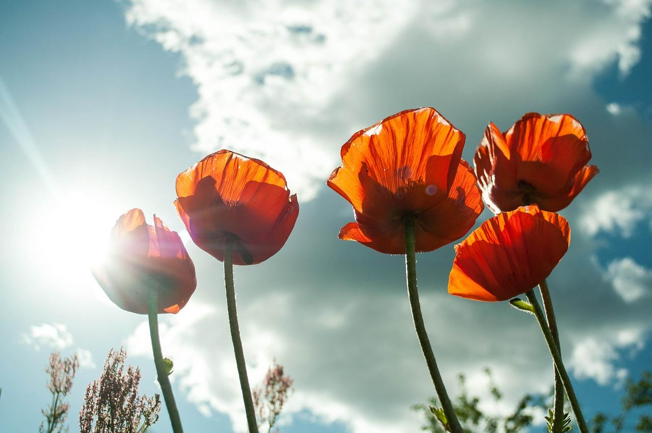 blog, flori de mac sub cerul senin, văzute dintr-o poziţie relaxată, culcând pe iarba verde în vacanţa mare, când soarele străluceşte şi te bucuri de viaţă, un adevarat ambient antistres